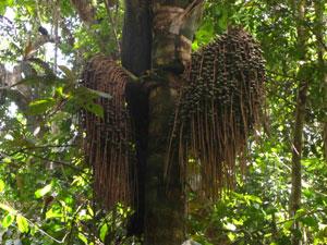 Palmier ungurahua qui donne l'huile précieuse des soins Rahua Amazon Beauty